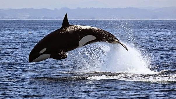 gty_killer_whale_monterey_bay_136139921_jt_131130_16x9_608