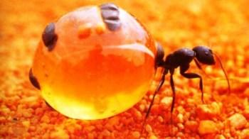 pots-de-fourmis-a-miel-les-fourmis-recueillir-le-miel-tout-aussi-recolte-par-les-abeilles-1