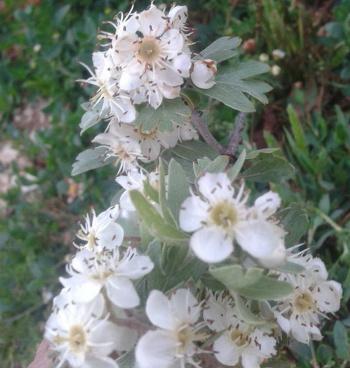 أزهار الزعرور