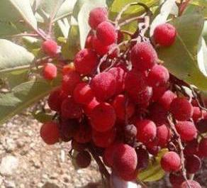 ثمار القيقب
