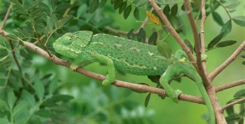 mediterranean-chameleon-walking-along-branch