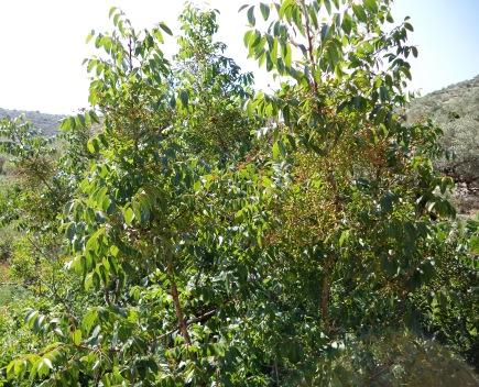 شجرة بطم