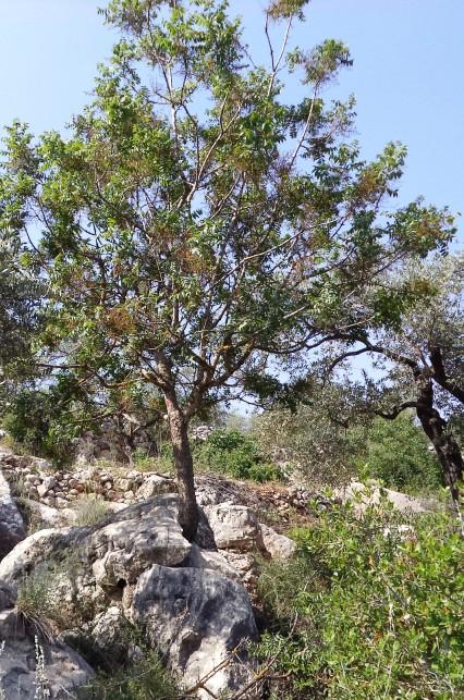 شجرة بطم خرجت من الصخر